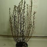 자엽단풍국수나무3번-짜보종-타이니와인-묵은주활착품-동일품배송|
