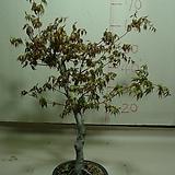 산단풍1번-붉은가을단풍에기절초풍-동일품배송|