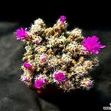덴섬(분채배송)|Trichodiadema densum