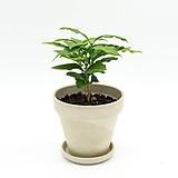 커피나무 토분 세트|