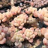 라울|Sedum Clavatum