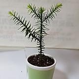 몽키퍼즐트리/아라우카리아 아라우카나/칠레소나무/2년생|