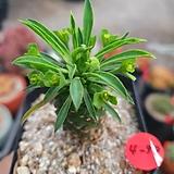괴마옥4-98|Euphorbia hypogaea