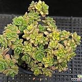 린들레이금48|Aeonium Lindleyi