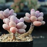 아메치스 654|Graptopetalum amethystinum