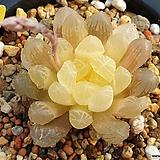 호박옵투사금|Haworthia cymbiformis var. obtusa