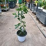 유칼립투스 폴리안 중품 외목대 공기정화식물 인테리어식물 야생화 99|