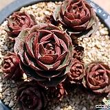 환엽롱기시마071|Echeveria longissima