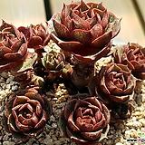 환엽롱기시마072|Echeveria longissima