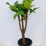 떡갈나무 ( 동일품배송 )|