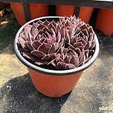 홍학 2포트 바위솔 10cm화분묘|Echeveria Beninoturu(JAPAN hyb)