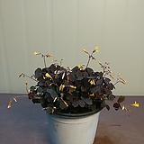 쿠퍼글로우 사랑초 