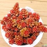 리틀쨈 (분째배송)|Cremnosedum Little Gem (Crassulaceae)