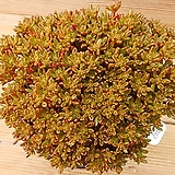 목대 소인제 한몸|Aeonium sedifolius