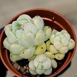 Echeveria albicans