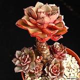 중품 묵은둥이 모라니 1|Echeveria moranii