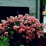 분홍찔레3번-분재형분홍찔레 봄부터-가을까지-동일품배송|