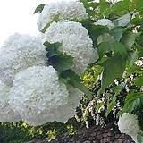 불두화.대품.흰색꽃.월동가능..상태굿.화단에 심는용도로 좋습니다.나무 푸짐하니 좋습니다~|