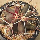 열자옥선인장04071|Haworthia truncata