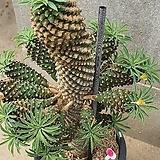 괴마옥 04071|Euphorbia hypogaea