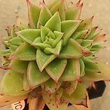 짧은잎적성04071|Echeveria agavoides Akaihosi