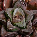 만상 교배종(대형) (万象 交配種(大型)-03-10-No.1258|Haworthia maughanii
