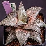 테셀라타-JY1(tessellata-JY1)-03-10-No.1292|