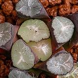 만상 실생(万象 實生)-03-10-No.3138|Haworthia maughanii