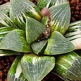 성영 (무금묘) (星影 (無錦苗))-03-10-No.1490|Echeveria elegans Potosina