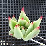 미국도감마리아(모주사진첨부,컷팅) Echeveria agavoides Maria