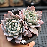 파랑새군생 0406-71 |Echeveria Blue bird