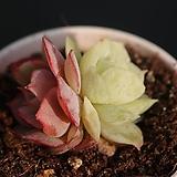 온슬로우그ㅁ893|Echeveria cv Onslow