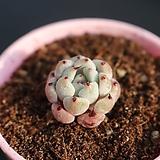 검은발톱자라고사665|Echeveria mexensis Zaragosa