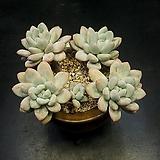 묵은 후레뉴-5두(4.7)|Pachyphytum cv Frevel