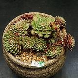 필리페럼-20두(4.7)|Graptopetalum filiferum