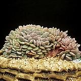 라피네철화(4.7)|Echeveria Lapine