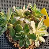 에오니움 애연금|Aeonium canariense