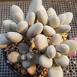 성미인(한몸)|Pachyphytum oviferum