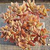 워터메리|Crassula atropurpurea var. watermeyeri
