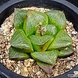콤프토니아2|Haworthia comptonia