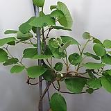 키위/골드키위나무|