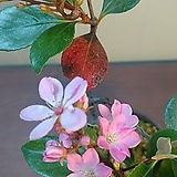 분홍다정큼나무  