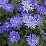 바람꽃-블란다 3포트 묘종 10cm화분묘|