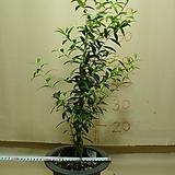 올리브나무5번-공기정화-알러지-비염에 좋은효과|