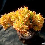 팔천대철화(사이즈좋음)|Sedum corynephyllum