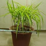 풍지초1번-화려한무늬가일품-분경용, 분화용-동일품배송|