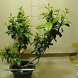 진도광엽백화등1번-향기가 진한 광엽의 후육질 백화등-동일품배송 |