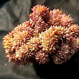 라밀라떼철화(분채배송)|Echeveria Lamillette  f cristata