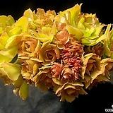 캐시미어|Aeonium Velour