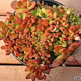 라디칸스 508|Crassula pubescens Radicans